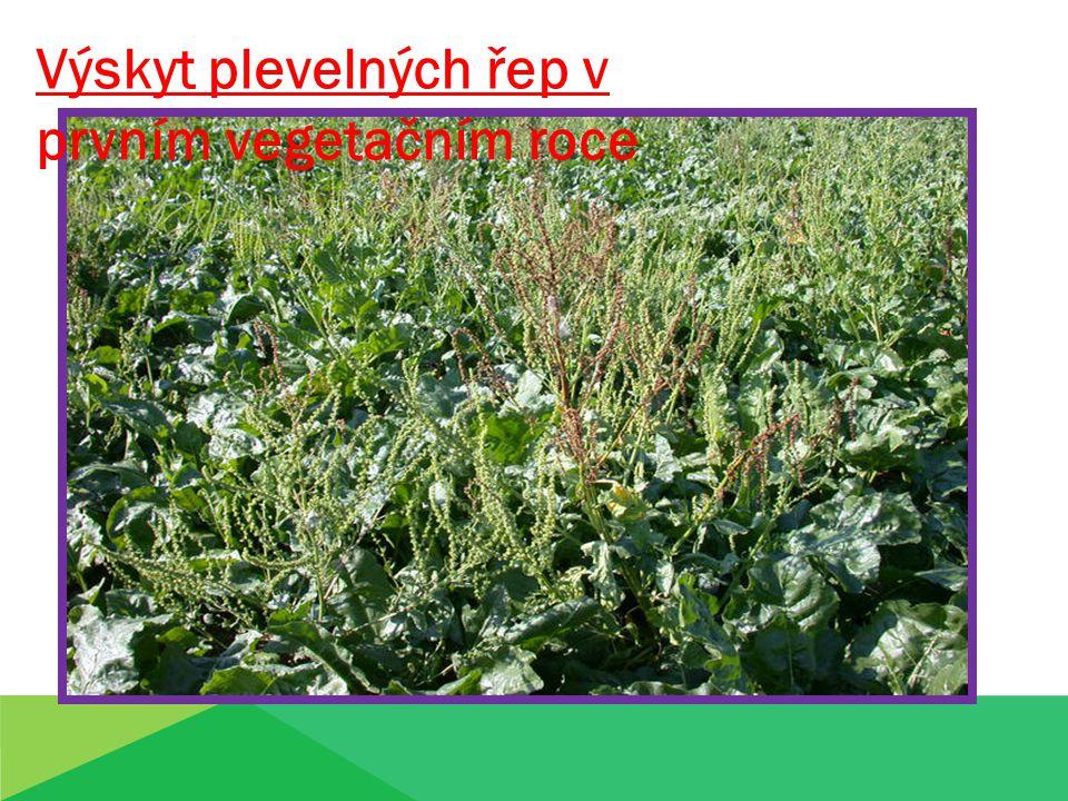 Výskyt plevelných řep v prvním vegetačním roce
