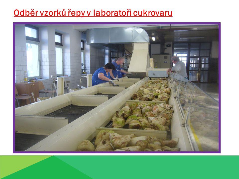 Odběr vzorků řepy v laboratoři cukrovaru