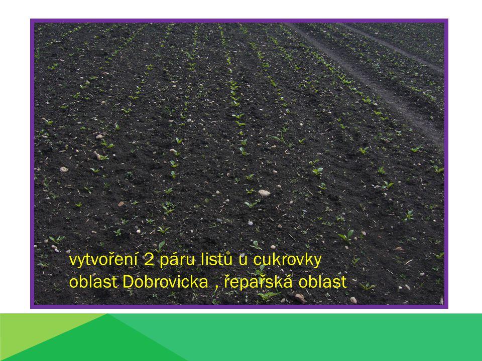 vytvoření 2 páru listů u cukrovky oblast Dobrovicka , řepařská oblast