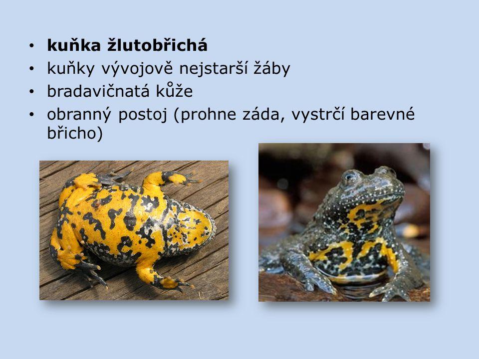 kuňka žlutobřichá kuňky vývojově nejstarší žáby. bradavičnatá kůže.