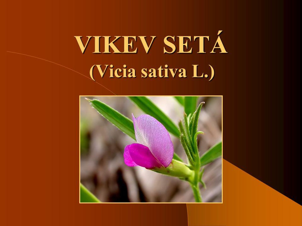 VIKEV SETÁ (Vicia sativa L.)