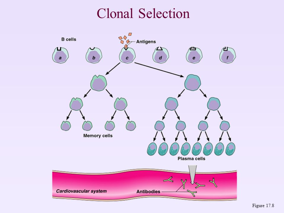 Clonal Selection Figure 17.8