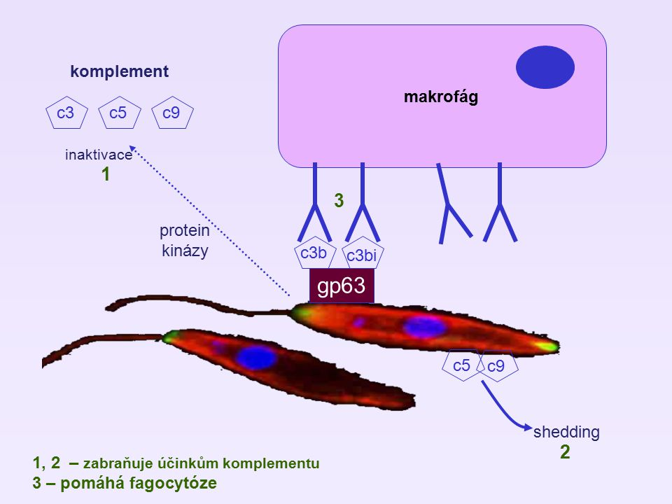 gp63 1 3 2 makrofág komplement c3 c5 c9 protein kinázy c3b c3bi c5 c9