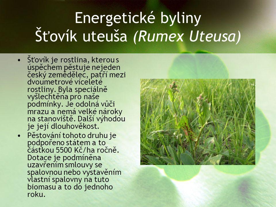 Energetické byliny Šťovík uteuša (Rumex Uteusa)