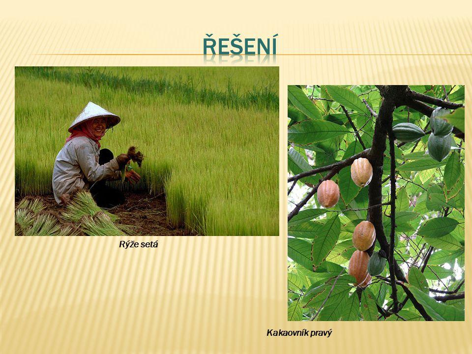 Řešení Rýže setá Kakaovník pravý