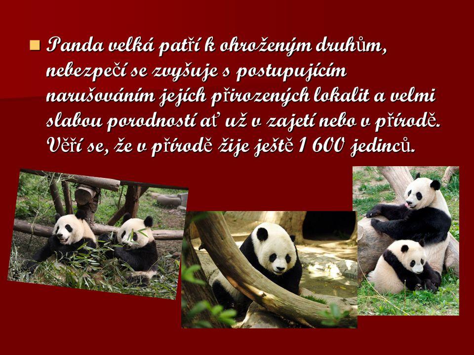Panda velká patří k ohroženým druhům, nebezpečí se zvyšuje s postupujícím narušováním jejích přirozených lokalit a velmi slabou porodností ať už v zajetí nebo v přírodě.