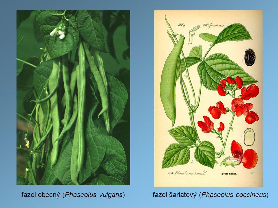 fazol obecný (Phaseolus vulgaris)