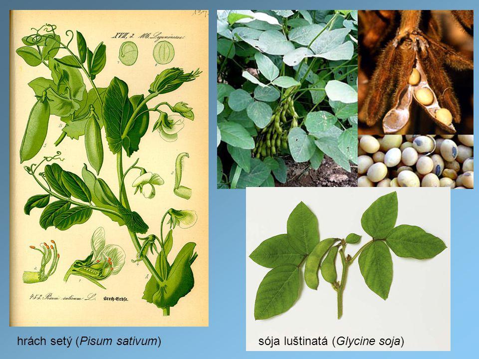 hrách setý (Pisum sativum)