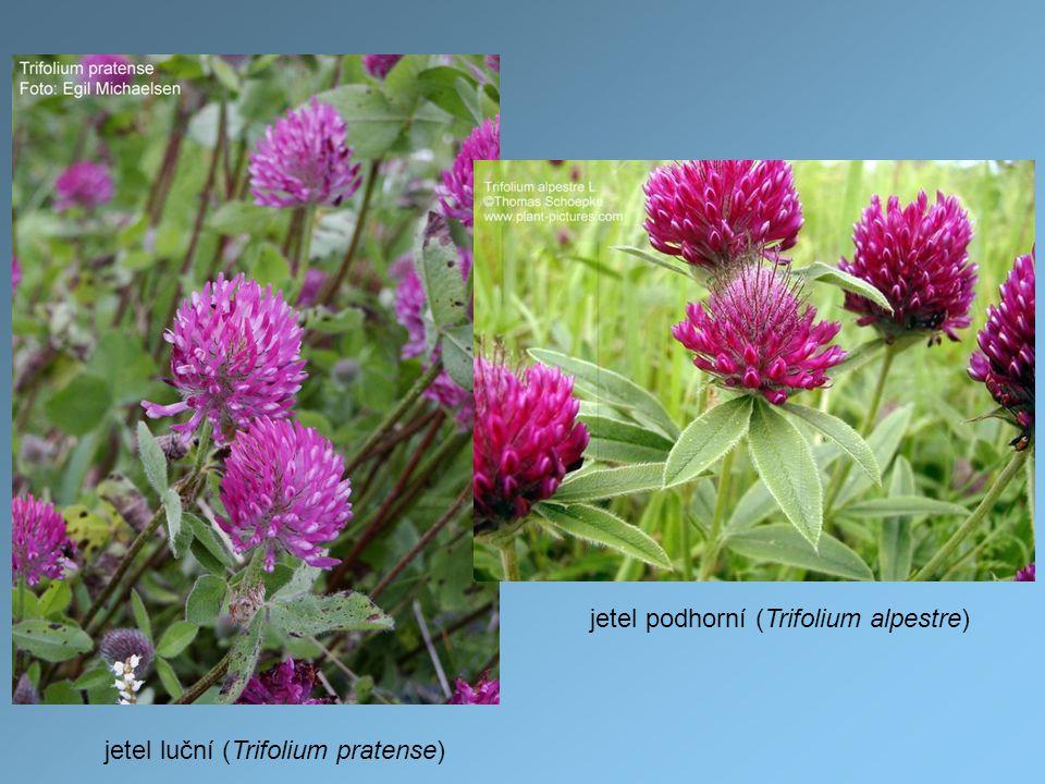 jetel podhorní (Trifolium alpestre)