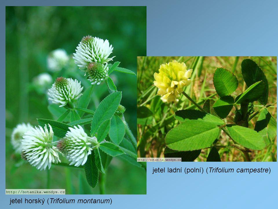 jetel ladní (polní) (Trifolium campestre)