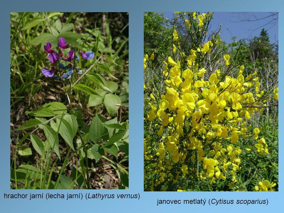 hrachor jarní (lecha jarní) (Lathyrus vernus)