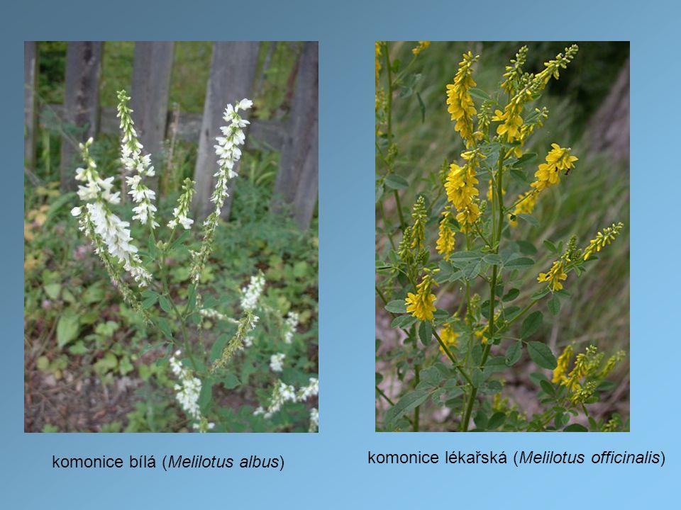 komonice bílá (Melilotus albus)