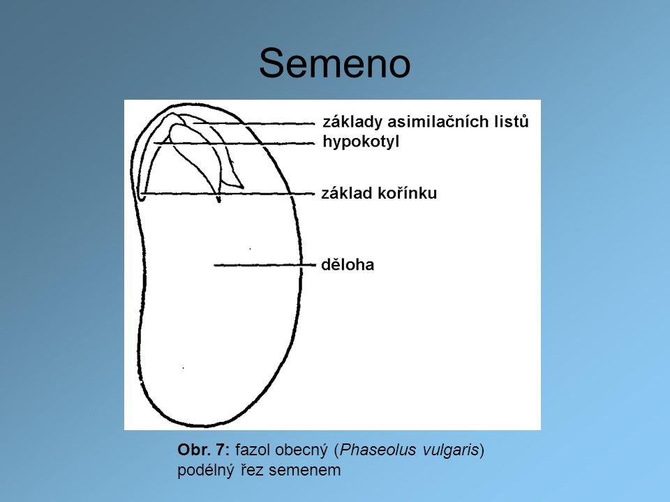 Semeno Obr. 7: fazol obecný (Phaseolus vulgaris) podélný řez semenem