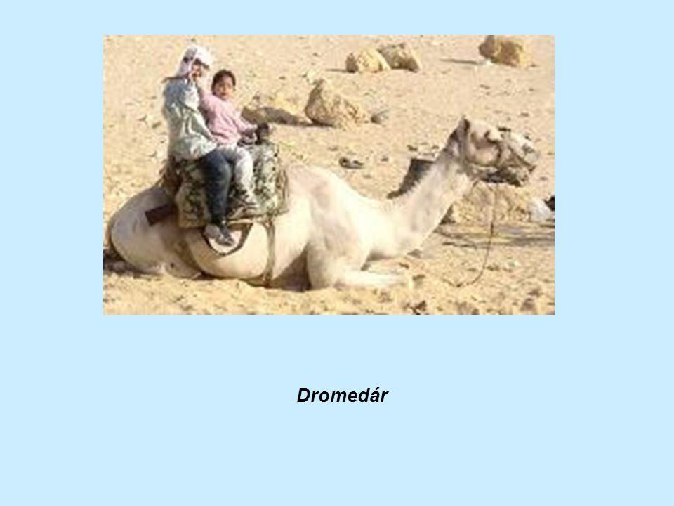 Dromedár