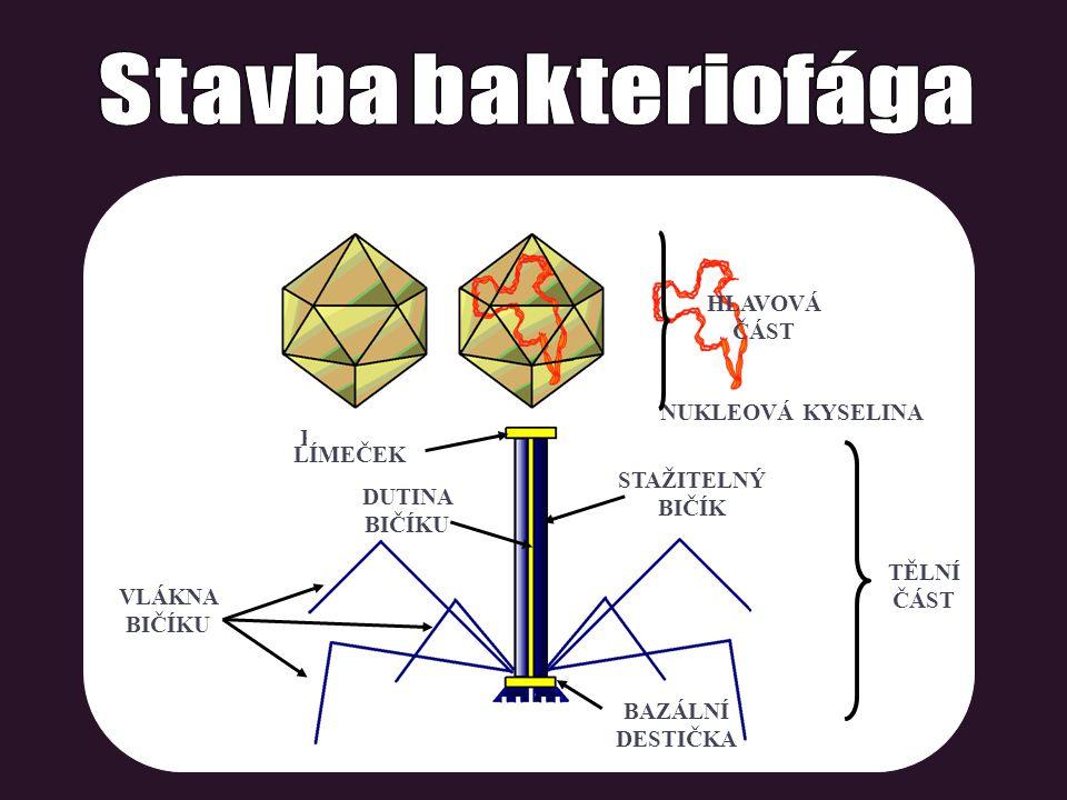 Stavba bakteriofága HLAVOVÁ ČÁST NUKLEOVÁ KYSELINA KAPSIDA