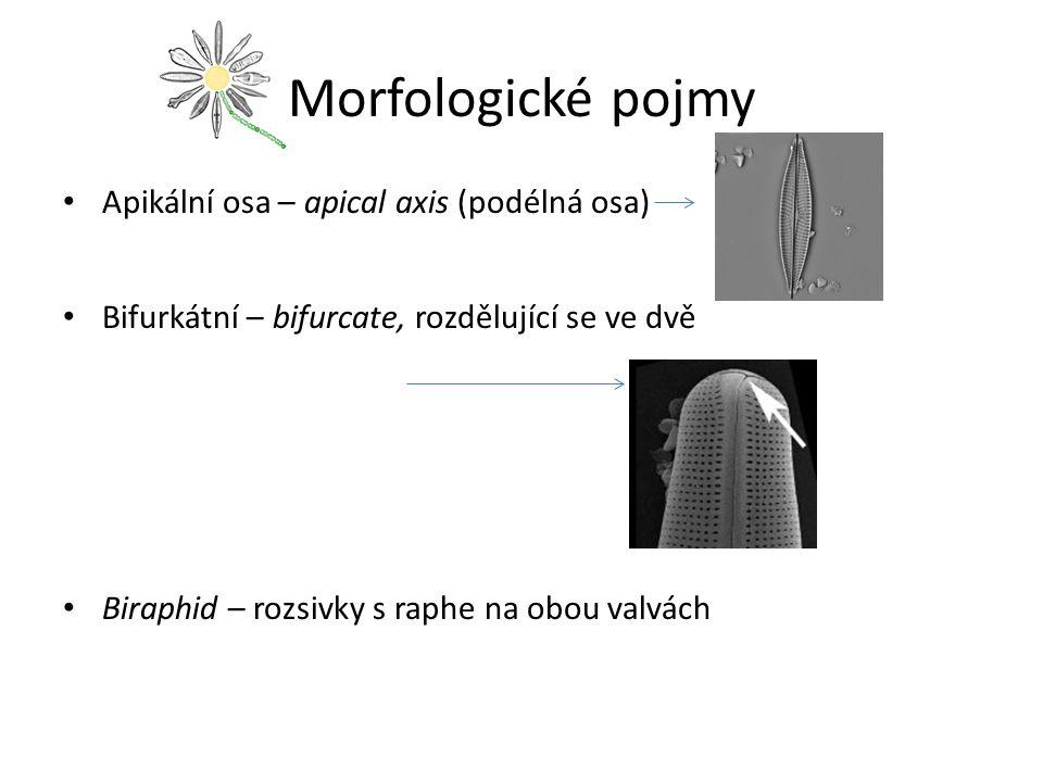 Morfologické pojmy Apikální osa – apical axis (podélná osa)