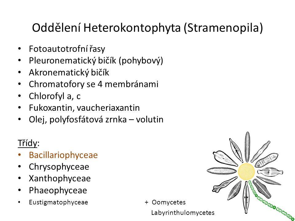 Oddělení Heterokontophyta (Stramenopila)