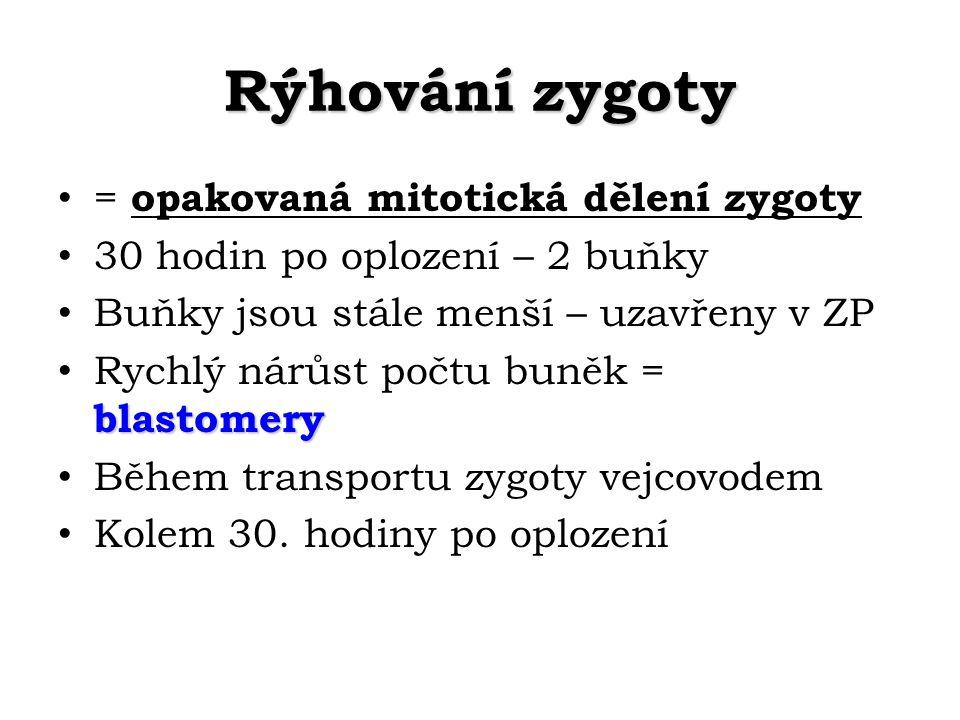 Rýhování zygoty = opakovaná mitotická dělení zygoty