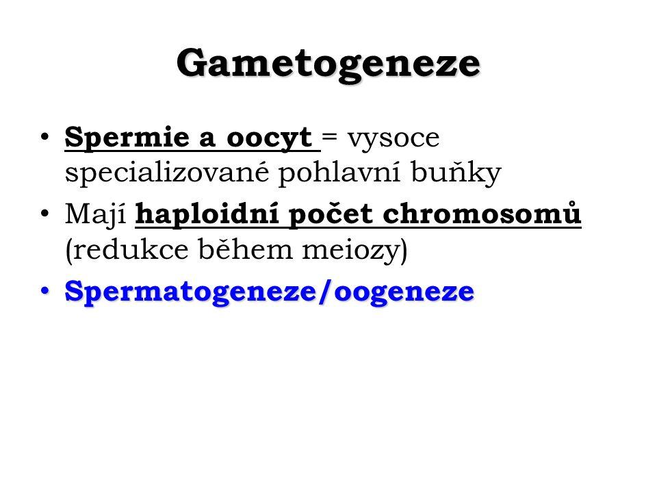 Gametogeneze Spermie a oocyt = vysoce specializované pohlavní buňky
