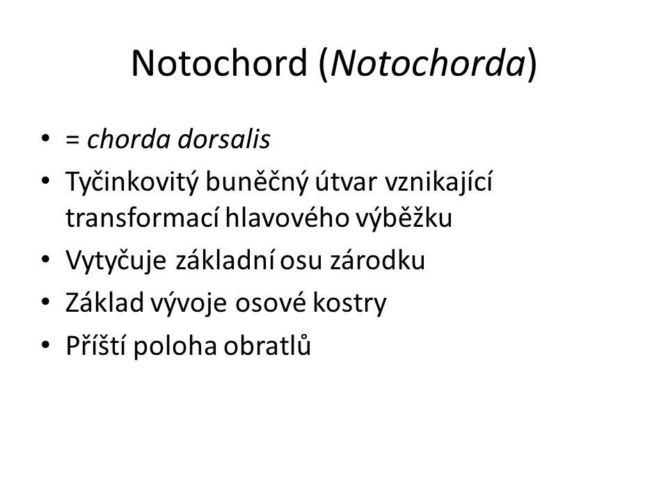 Notochord (Notochorda)