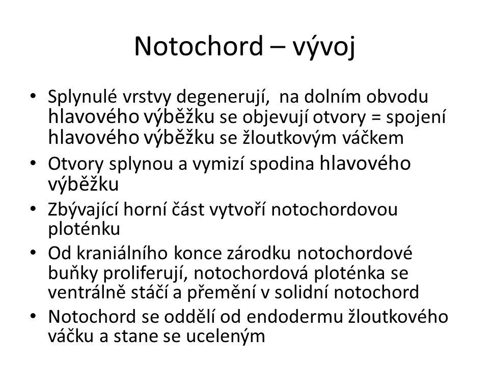 Notochord – vývoj Splynulé vrstvy degenerují, na dolním obvodu hlavového výběžku se objevují otvory = spojení hlavového výběžku se žloutkovým váčkem.