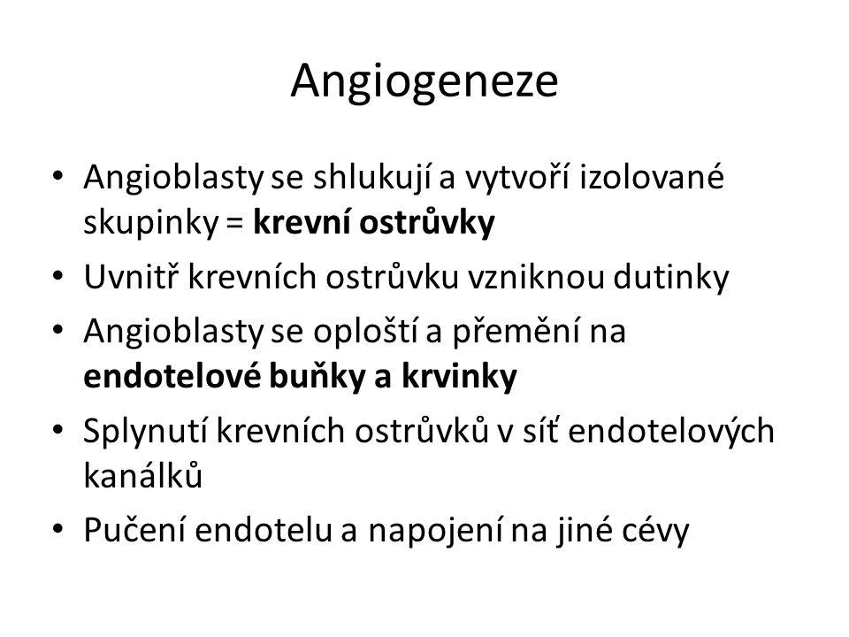 Angiogeneze Angioblasty se shlukují a vytvoří izolované skupinky = krevní ostrůvky. Uvnitř krevních ostrůvku vzniknou dutinky.