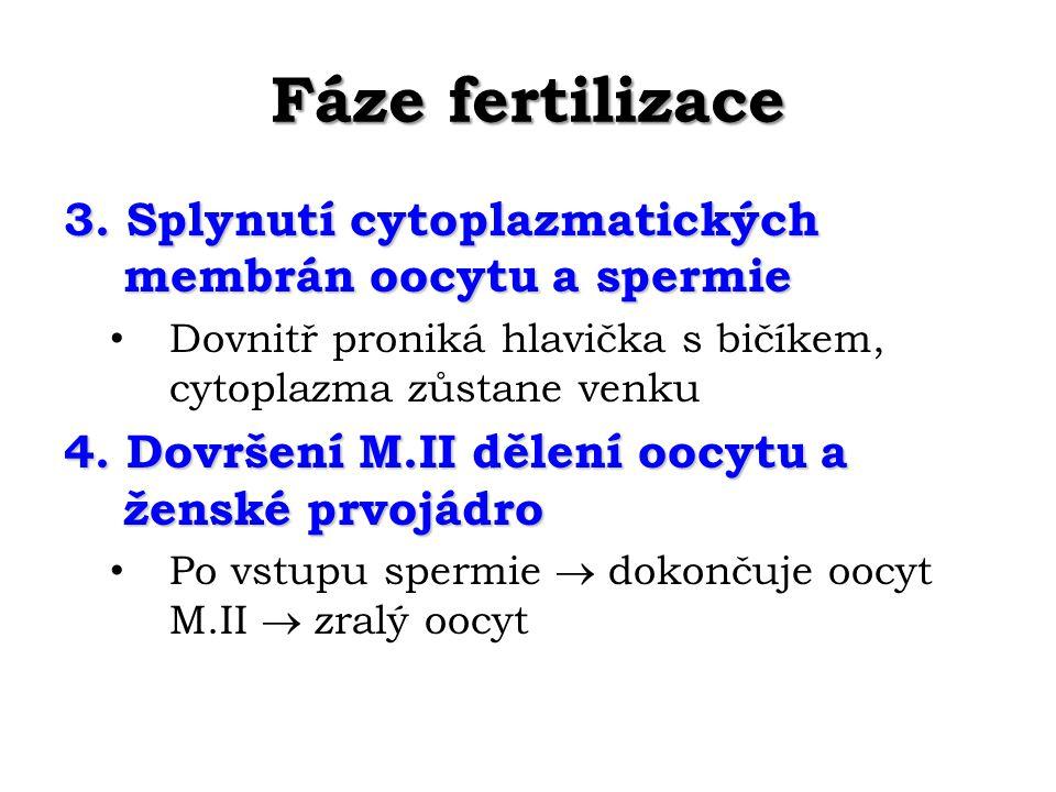 Fáze fertilizace 3. Splynutí cytoplazmatických membrán oocytu a spermie. Dovnitř proniká hlavička s bičíkem, cytoplazma zůstane venku.