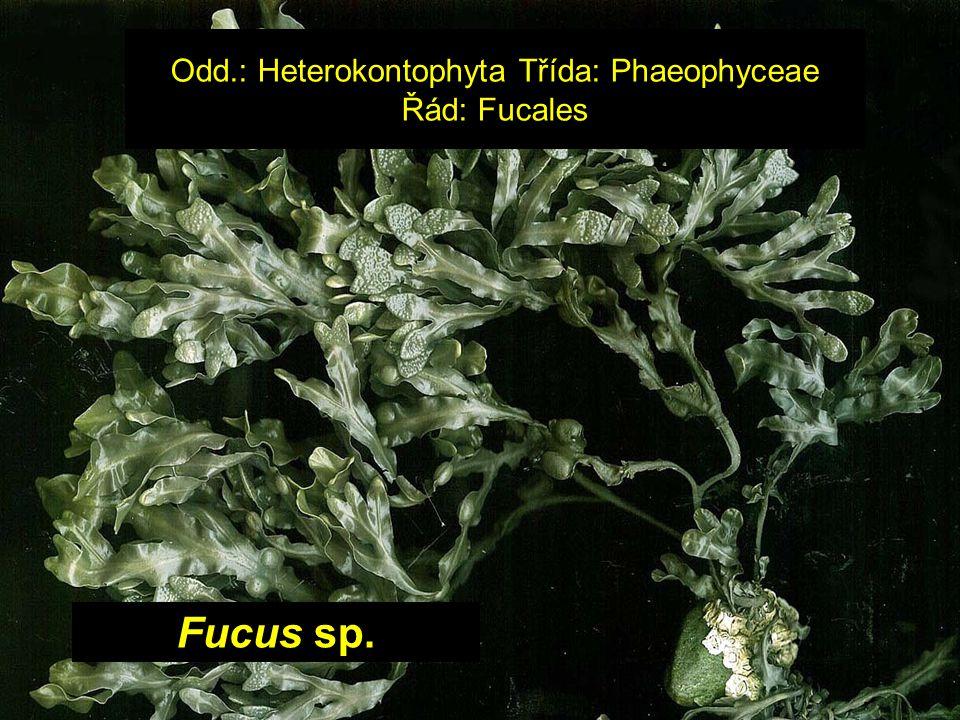 Odd.: Heterokontophyta Třída: Phaeophyceae Řád: Fucales