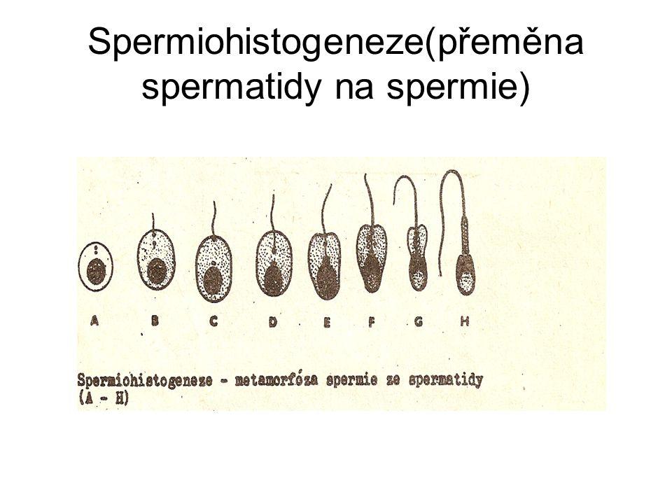 Spermiohistogeneze(přeměna spermatidy na spermie)