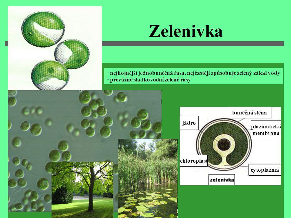 Zelenivka · nejhojnější jednobuněčná řasa, nejčastěji způsobuje zelený zákal vody. ∙ převážně sladkovodní zelené řasy.