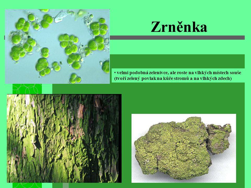 Zrněnka • velmi podobná zelenivce, ale roste na vlhkých místech souše (tvoří zelený povlak na kůře stromů a na vlhkých zdech)