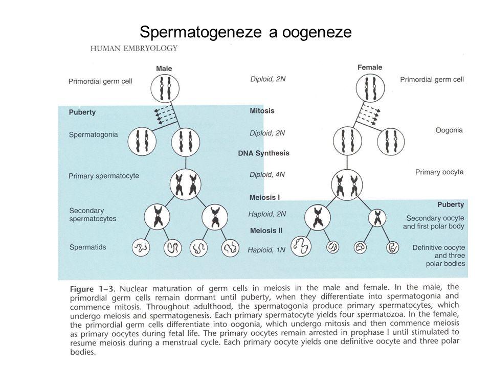 Spermatogeneze a oogeneze