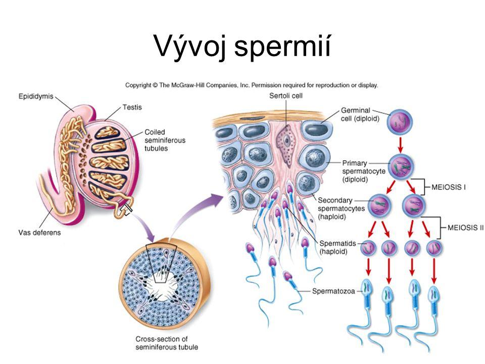 Vývoj spermií