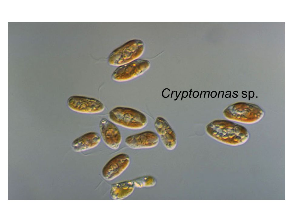 Cryptomonas sp.