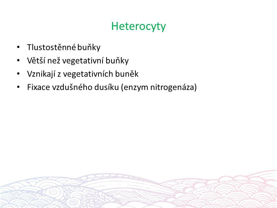 Heterocyty Tlustostěnné buňky Větší než vegetativní buňky