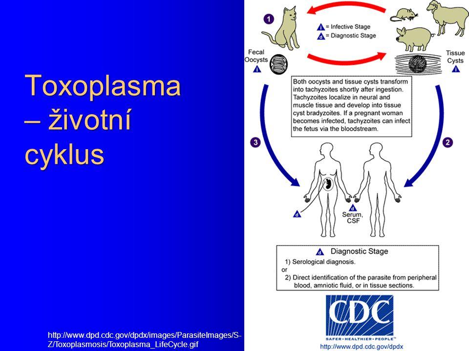 Toxoplasma – životní cyklus