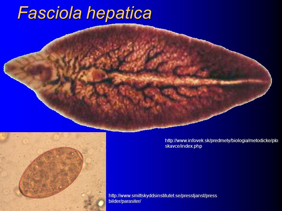 Fasciola hepatica http://www.infovek.sk/predmety/biologia/metodicke/ploskavce/index.php.