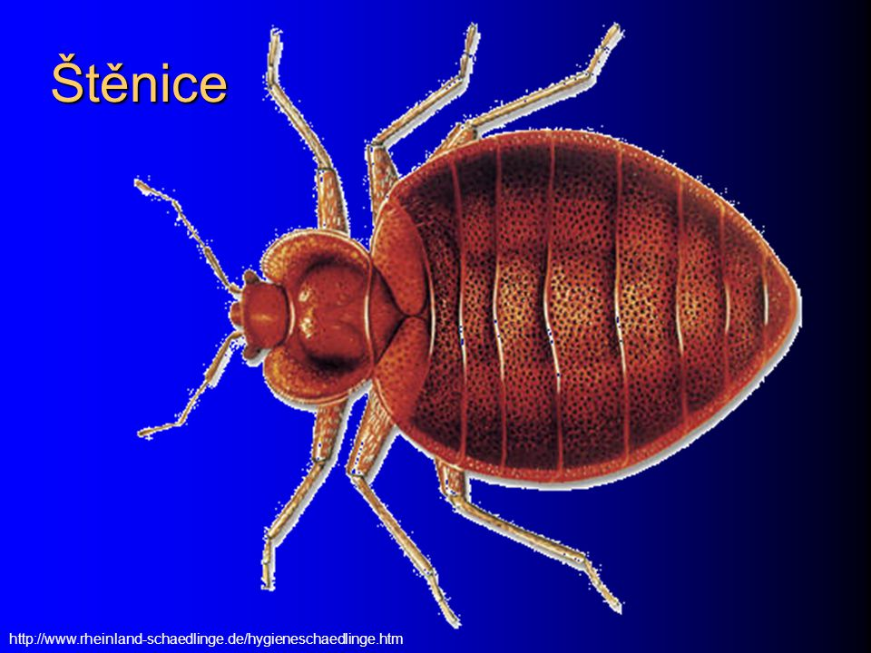 Štěnice http://www.rheinland-schaedlinge.de/hygieneschaedlinge.htm