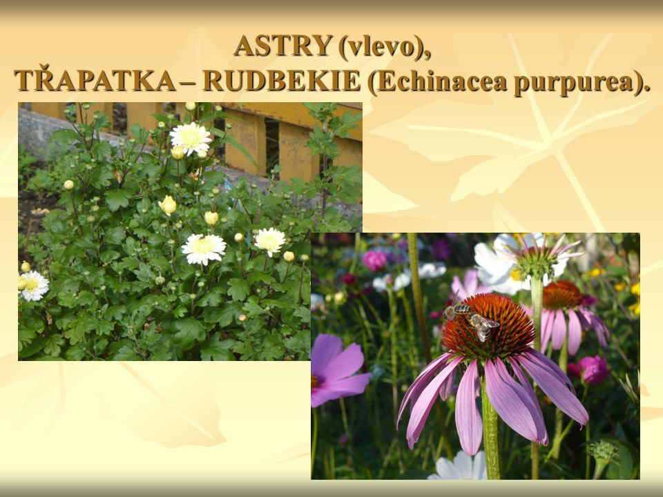 ASTRY (vlevo), TŘAPATKA – RUDBEKIE (Echinacea purpurea).