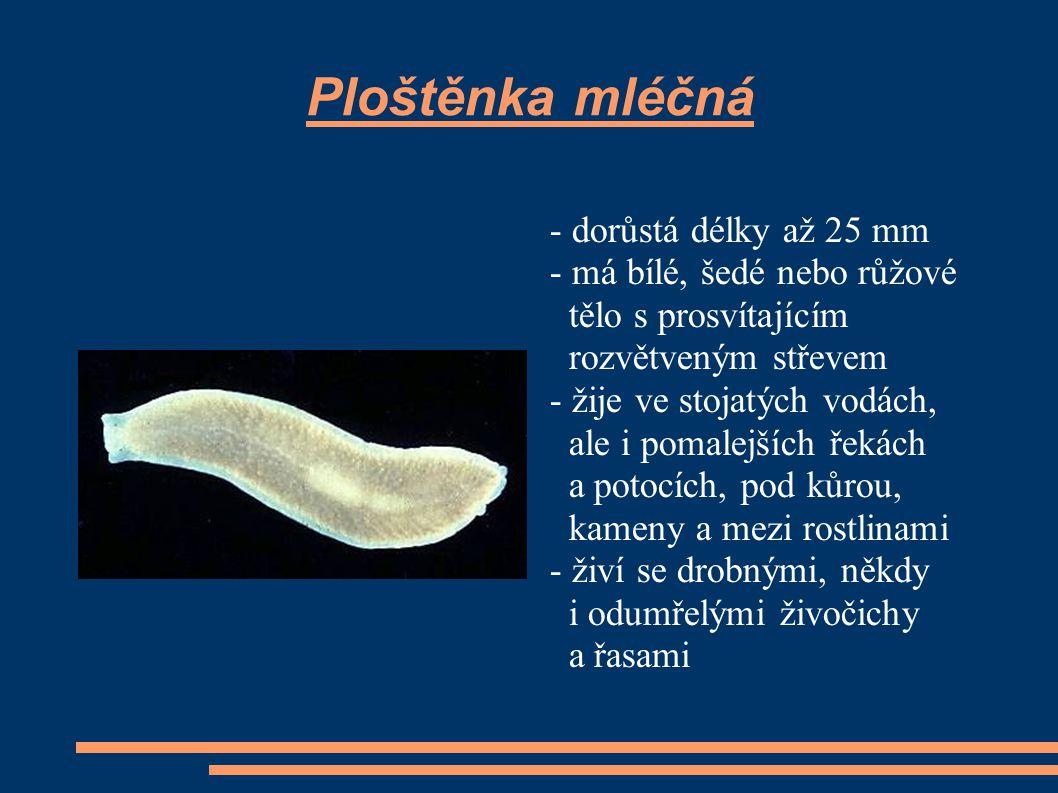 Ploštěnka mléčná - dorůstá délky až 25 mm - má bílé, šedé nebo růžové
