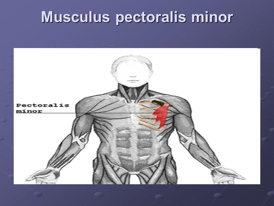 Musculus pectoralis minor