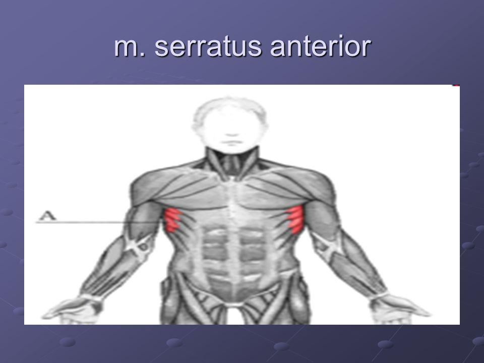 m. serratus anterior