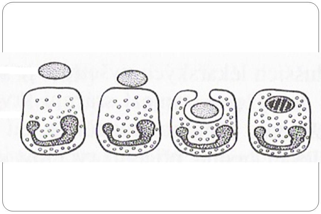Fagocytóza bakterie neutrofilním leukocytem: