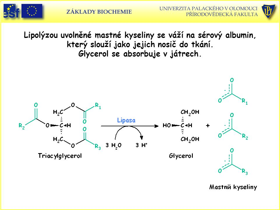 Lipolýzou uvolněné mastné kyseliny se váží na sérový albumin, který slouží jako jejich nosič do tkání. Glycerol se absorbuje v játrech.
