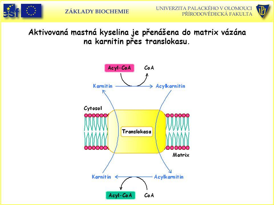 Aktivovaná mastná kyselina je přenášena do matrix vázána na karnitin přes translokasu.