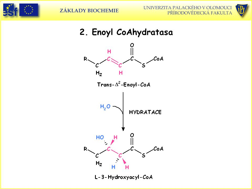 2. Enoyl CoAhydratasa EnoylCoaAhydratasa