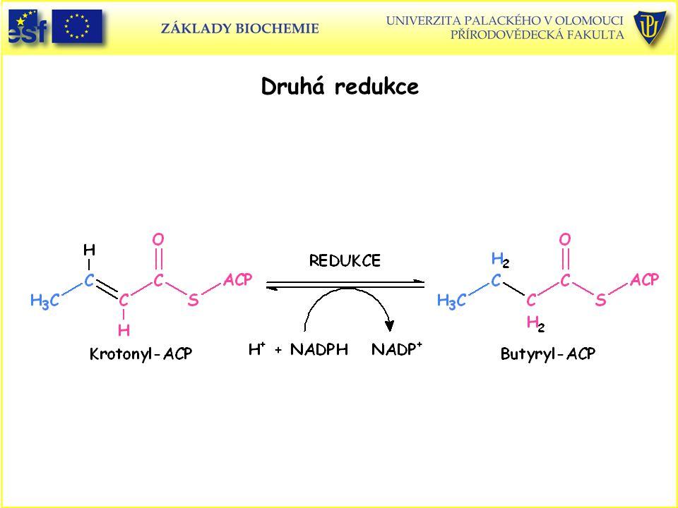 Druhá redukce Syntéza mastných kyselin, druhá redukce