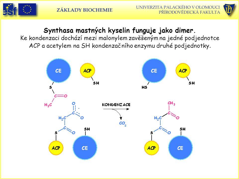 Synthasa mastných kyselin funguje jako dimer