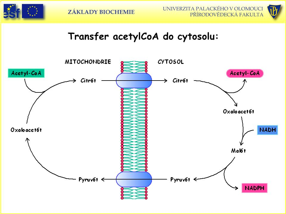 Transfer acetylCoA do cytosolu: