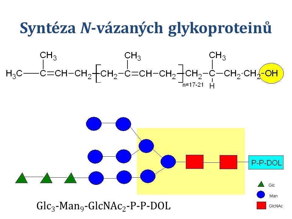 Syntéza N-vázaných glykoproteinů